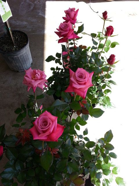 Thornless Variety For Container Antique Roses Forum Gardenweb Hybrid Tea Roses Shrub Roses Rose