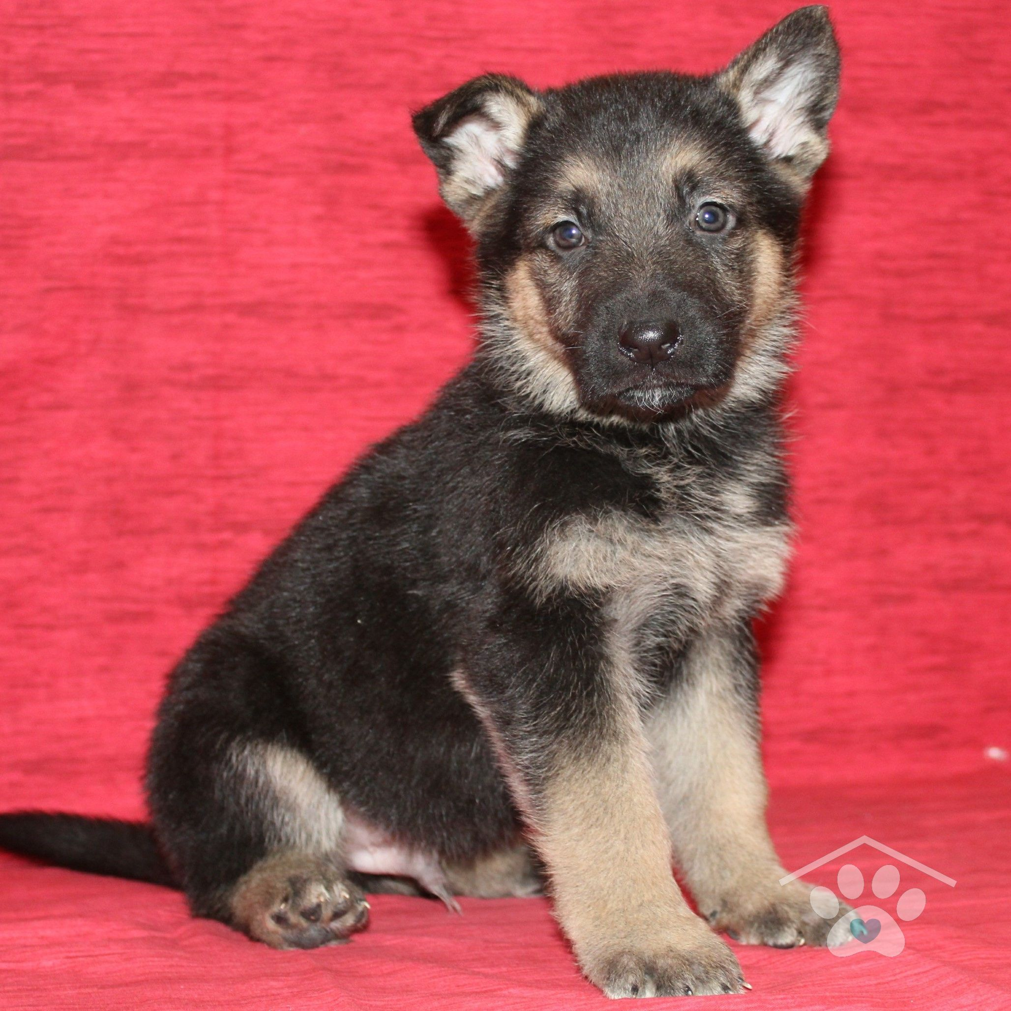 Meet Radar He Is A Handsome Male Black And Tan German Shepherd