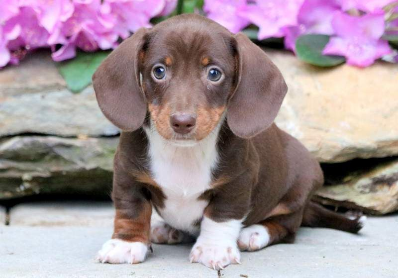 Buster Dachshund Miniature Puppy For Sale Keystone Puppies Dachshund Puppy Miniature Chiweenie Puppies Miniature Puppies