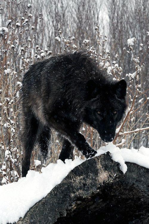 El lobo siempre estuvo íntimamente ligado a la luna. Se dice que más que gregario de la humanidad fue hermano en la noche de los tiempos. Muchas personas sienten al lobo como Nahual o animal vínculo con lo sagrado.