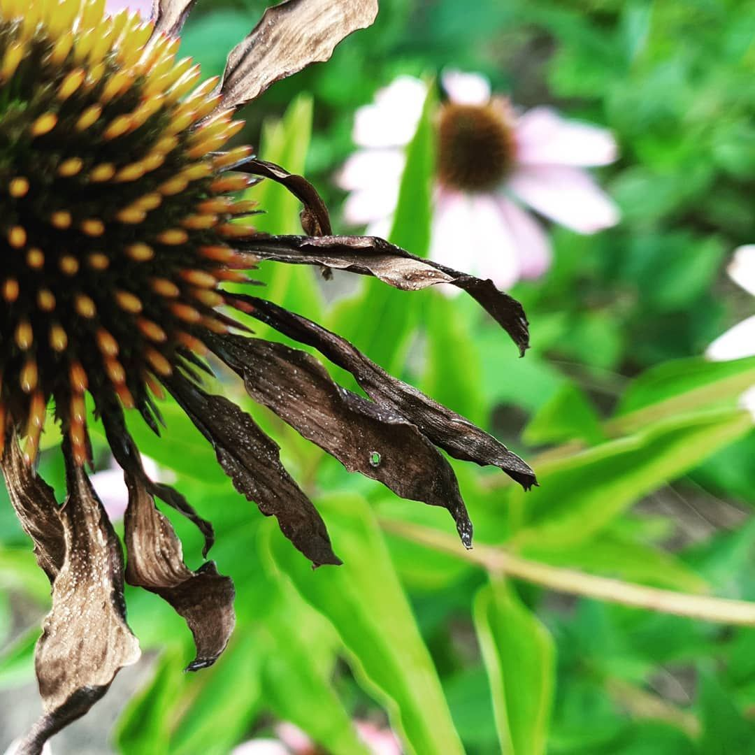 Jezyki Echinacea Jezowka Ogrod Garden Gardening Naturelover Zielen Zielenmiejska Kwiaty Instafi Echinacea Zapyla Flowers Pinterest Photos Garden