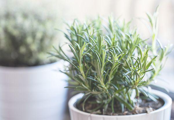蚊が嫌いな 8つの植物 意外と知られてないかも ハーブ栽培 虫除け