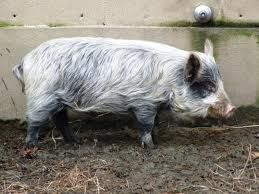 Guinea Hogs, a critically endangered breed, were widespread, and descriptions of them varied. Generally, the hogs were small, weighing 100-300 pounds, and black or bluish-black in color. Though the Guinea Hog would greatly benefit from additional research and description, it is clear that the breed is genetically distinct from improved breeds of hogs and merits conservation. Like other traditional lard-type breeds, however, the Guinea Hog faces great obstacles to its conservation.