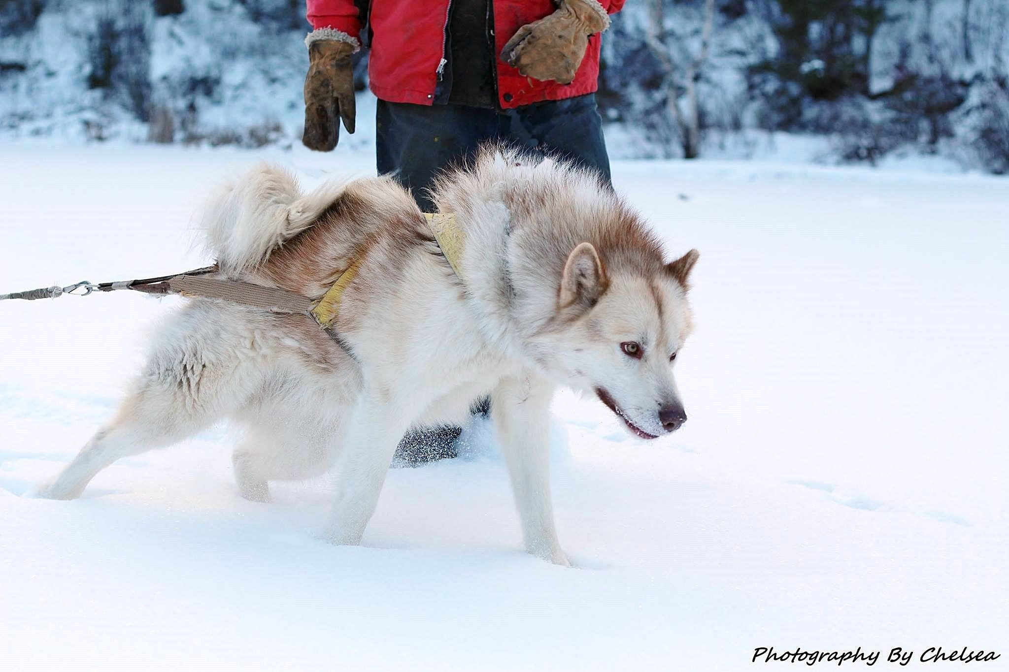 Sled Dogs Canadian Eskimo Dog Greenland Dog Canadian Eskimo