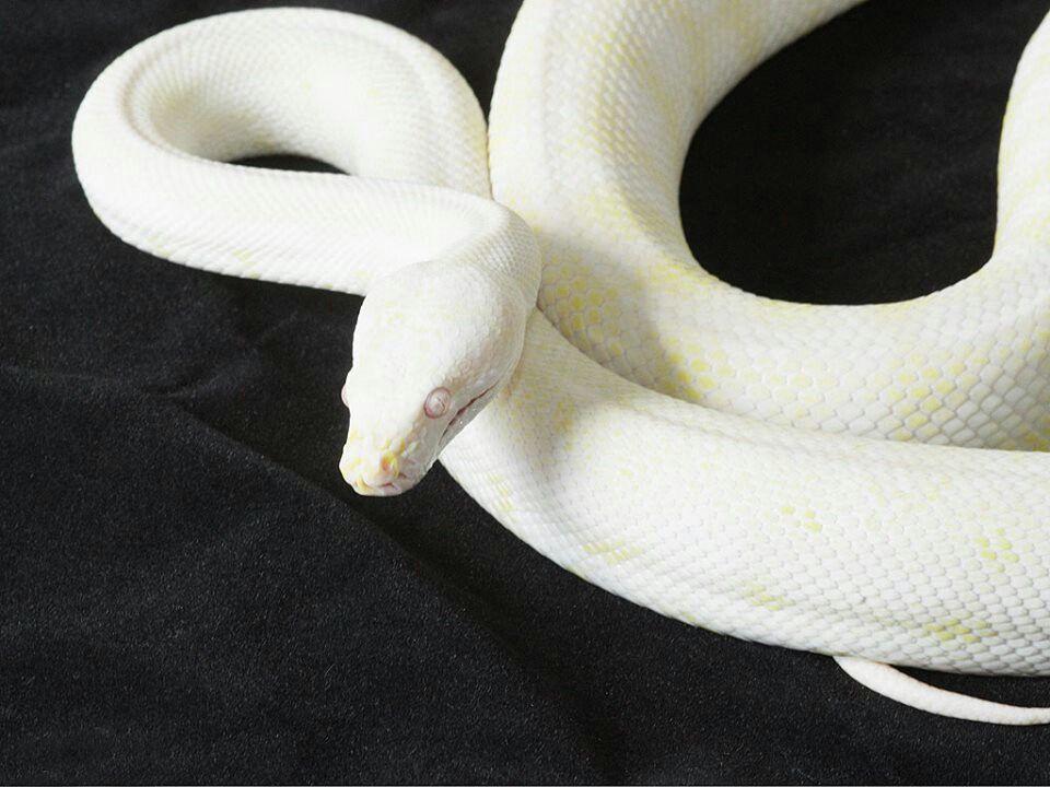 Beautiful snow carpet python