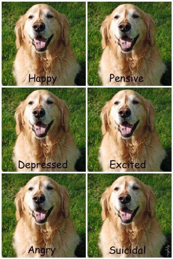 The Many Moods Of A Golden Retriever Retriever Dogs Golden