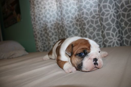 Litter Of 6 Bulldog Puppies For Sale In Brookfield Wi Adn 55562