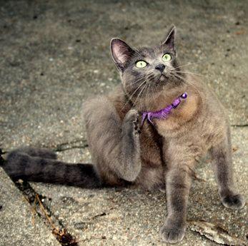 How To Treat Dry Flaky Skin In Indoor Cats Cat Fleas Fleas Flea Remedies