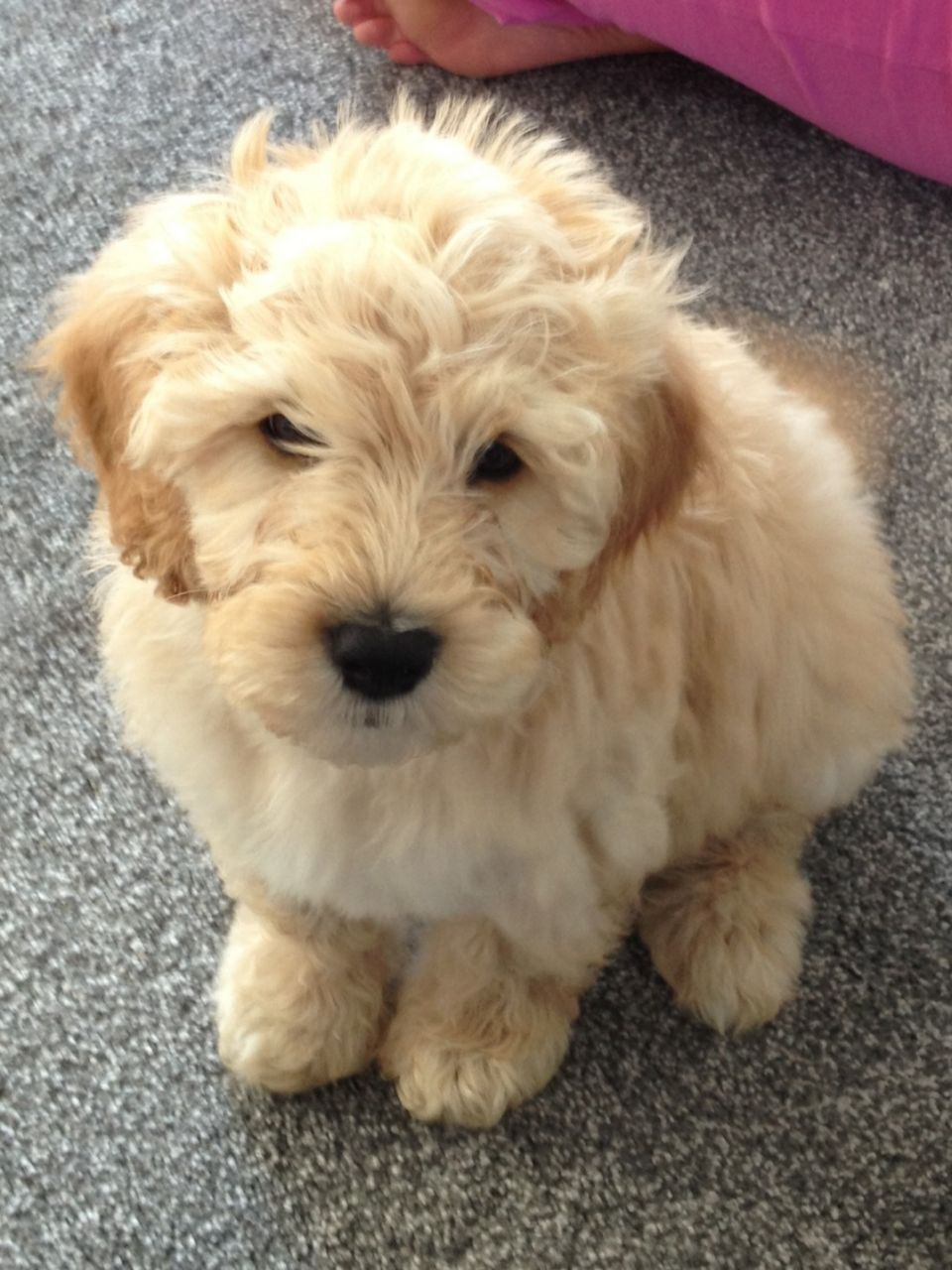 12 Reasons Why You Should Never Own Labradoodles Labradoodle