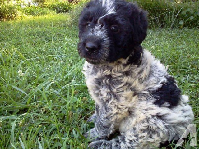Poodle X Blue Heeler Blue Cadoodle Poodle Mix Breeds Terrier