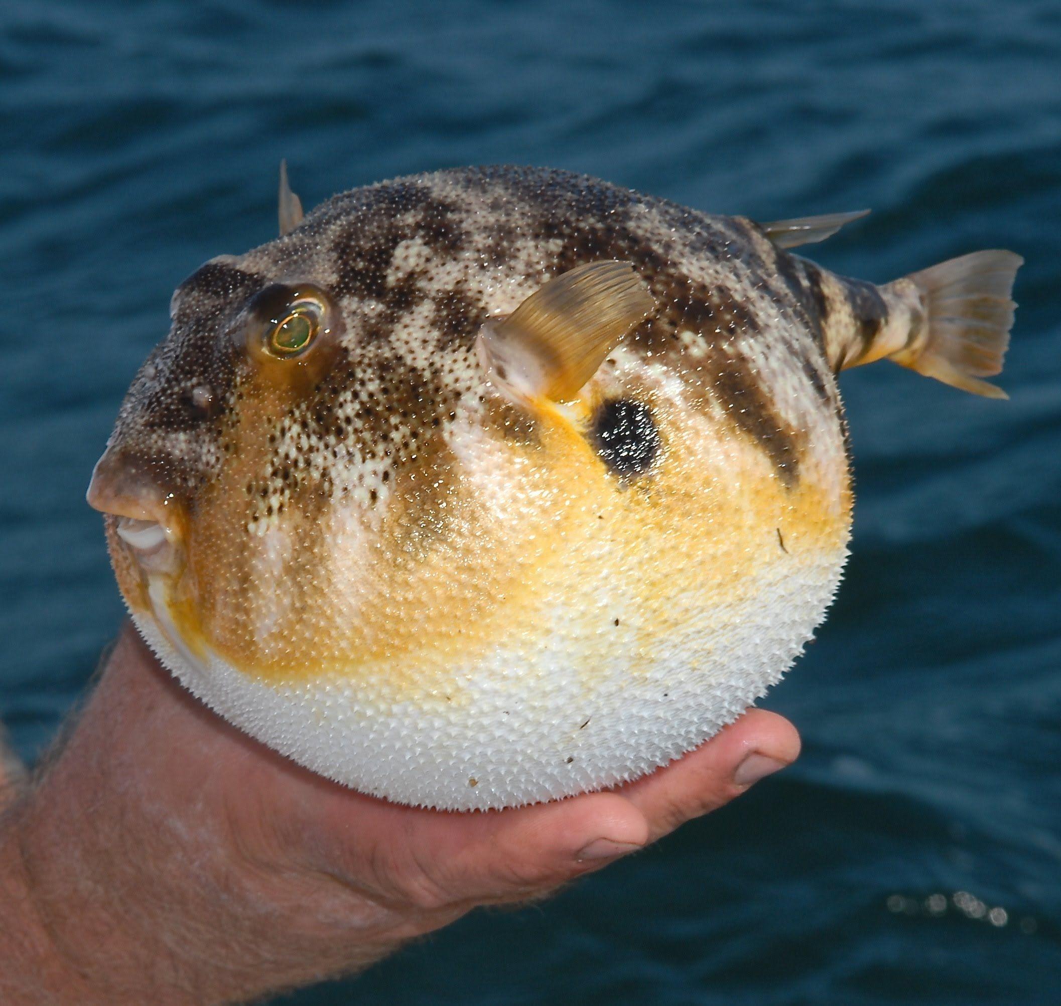 How puffer fish protect itself... (Tetraodontidae) | Puffer fish, Fish,  Puffer