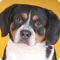 Adopt A Pet Robin Chicago Il Beagle American Pitbull Terrier Pitbull Terrier