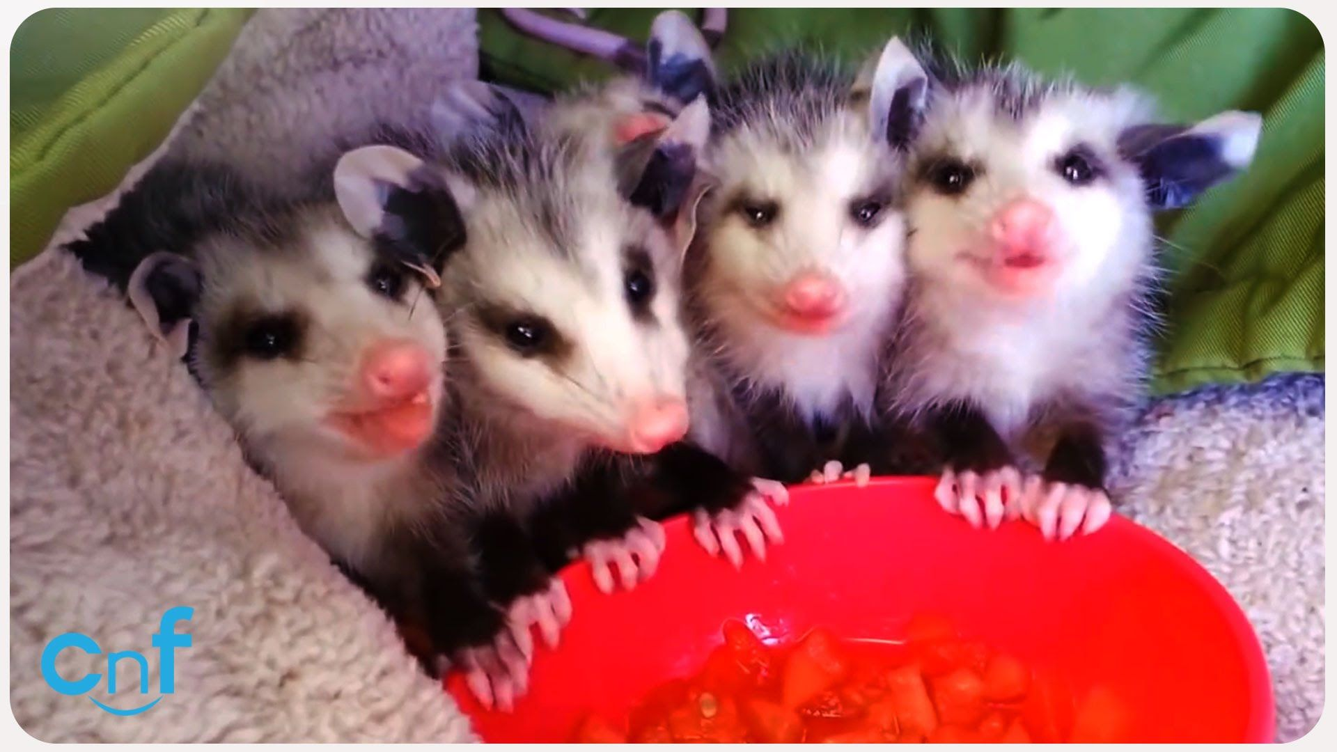 Baby Possums Eat Watermelon Possums.....Love Them All