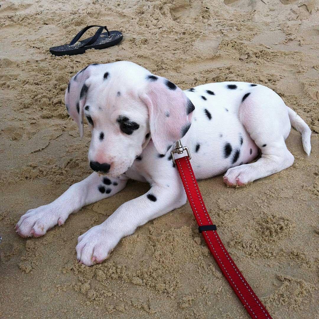 Soft Spots Ladys Shirt Dalmatiner Welpe