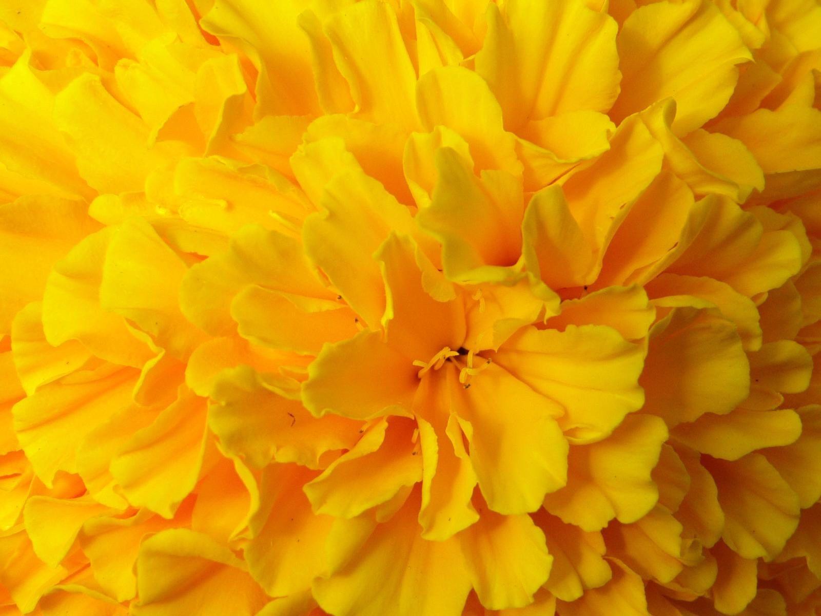 Pin By Tanya Hernandez On Yellow Dark And Light Yellow Flower Wallpaper Yellow Flowers Flower Desktop Wallpaper