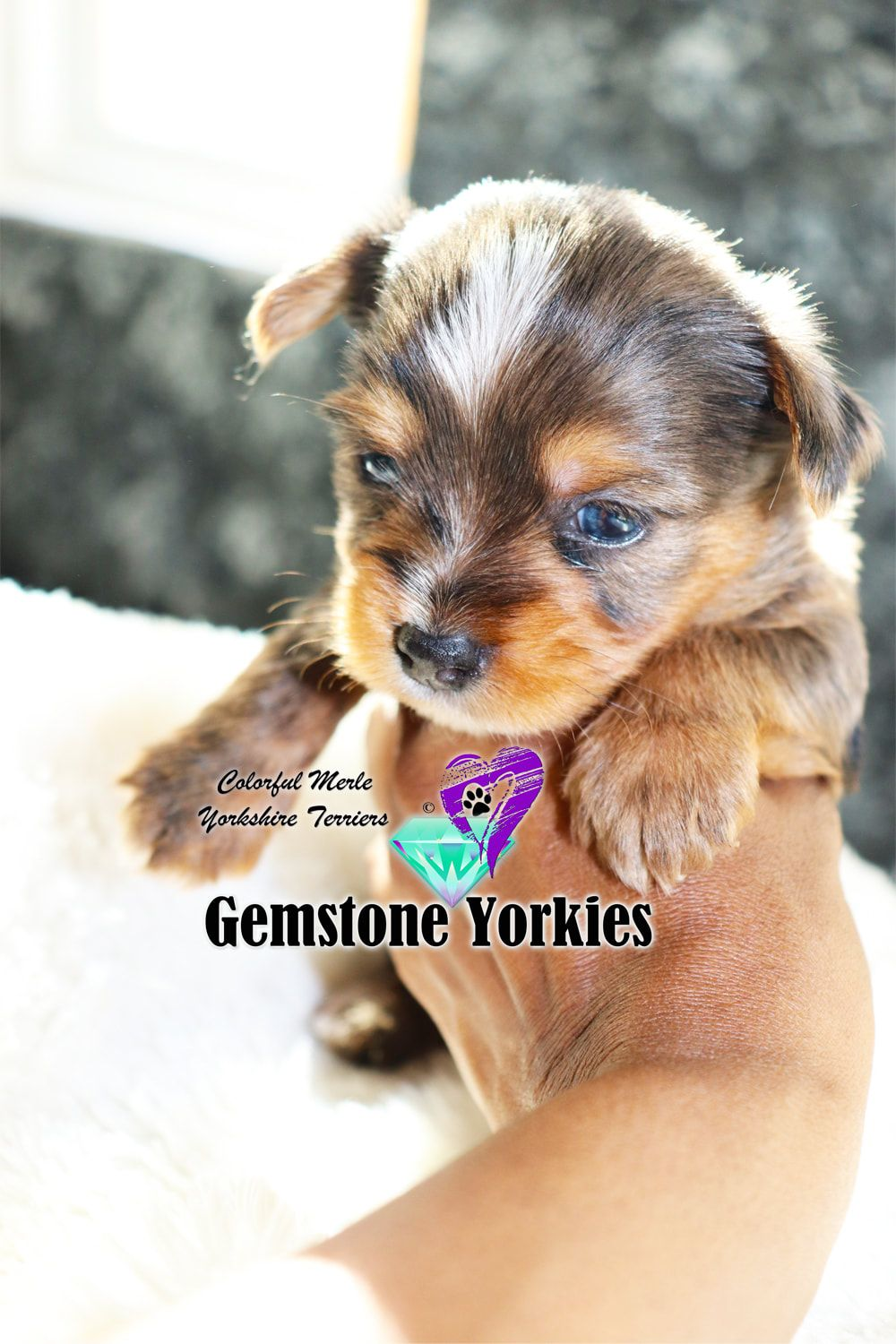 Pin on Merle Yorkshire Terrier Puppies Adoption for Sale