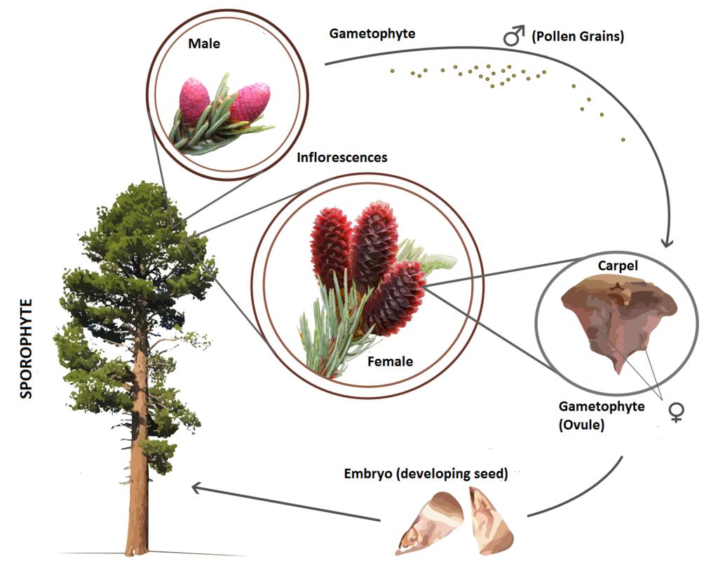 Gymnosperm Life Cycle En