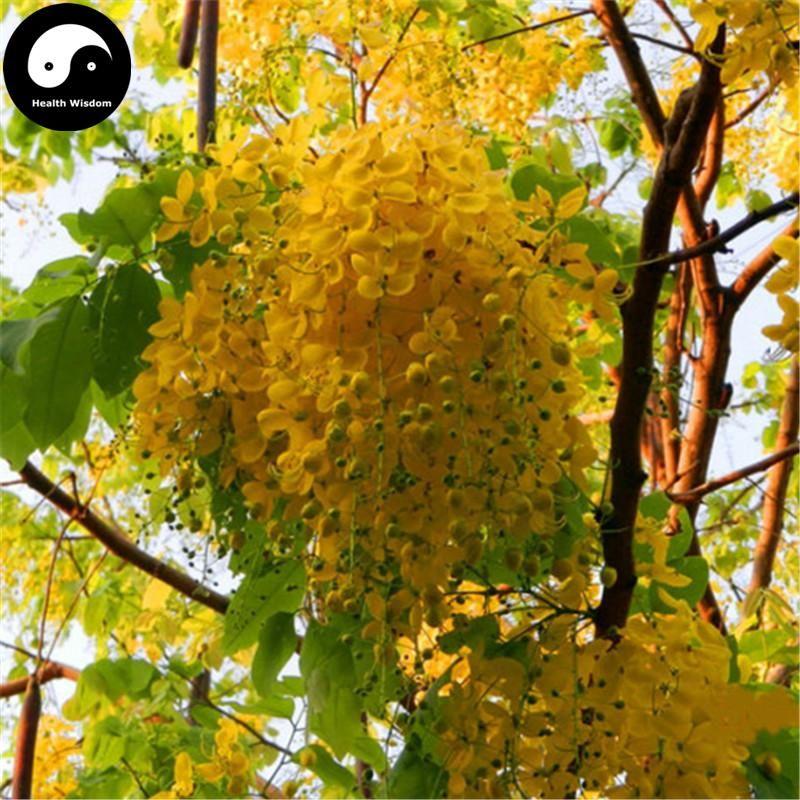 Buy Sophora Xanthantha Tree Seeds 120pcs Plant Sophora