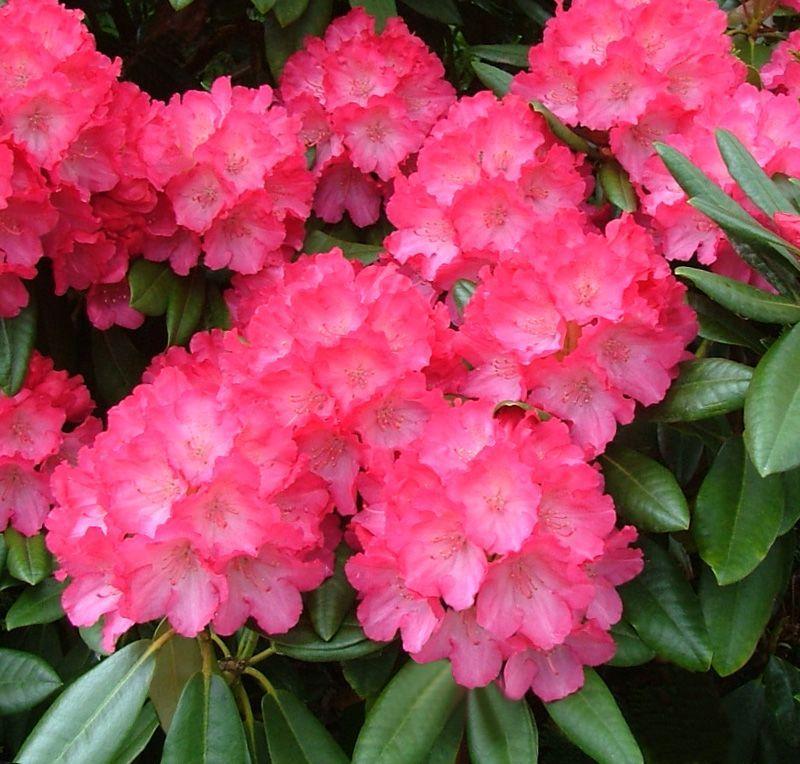 Https Www Google Com Au Blank Html Rhododendron Plant Plants