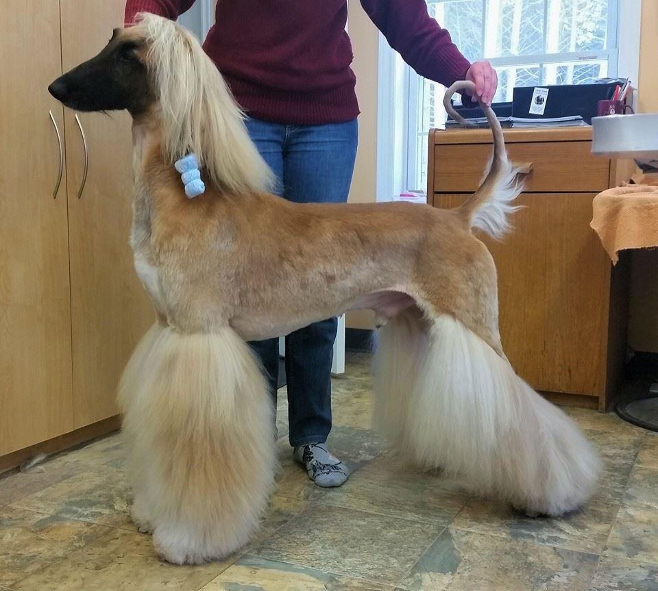 Afghan hound af dog grooming dog grooming salons dog
