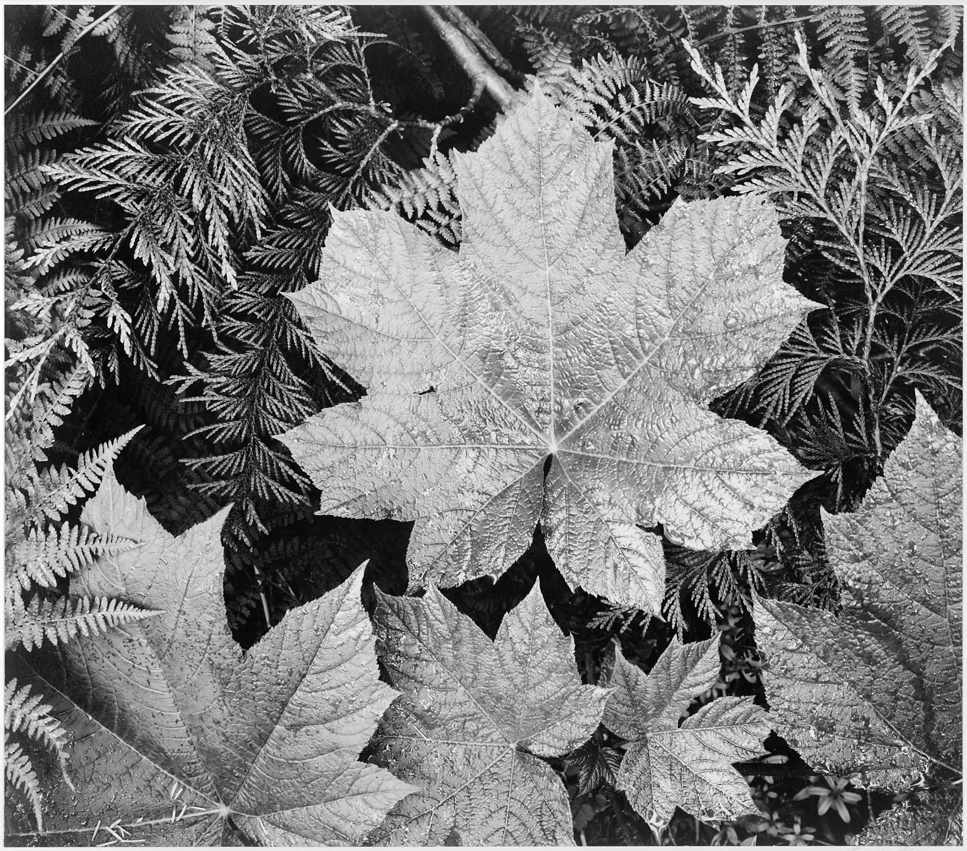 Ansel Adams - A black-and-white close-up photograph of palmate ...