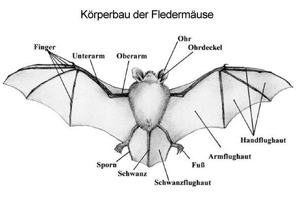 Gründlich über Fledermäuse   Bat / Flying Fox /Pipistrelli / chauve ...
