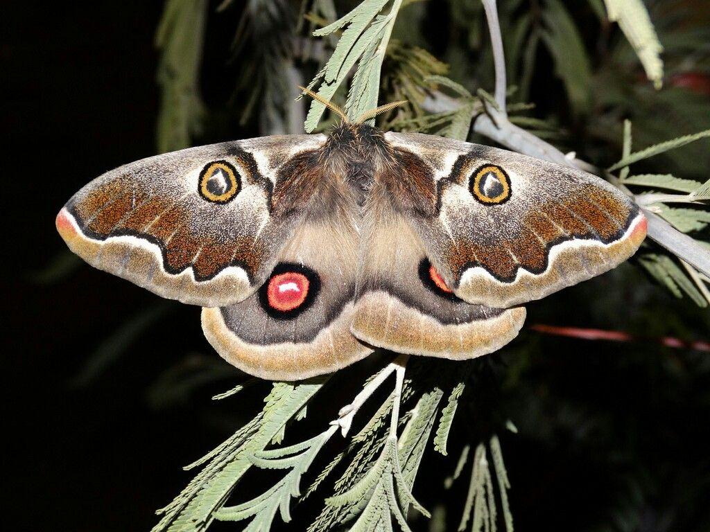 Polythysana Cinerascens Mariposas