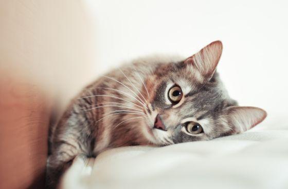 ¿Por qué no todos los gatos emiten este sonido? ¿Qué significa? ¿Tiene su runrún poderes curativos?