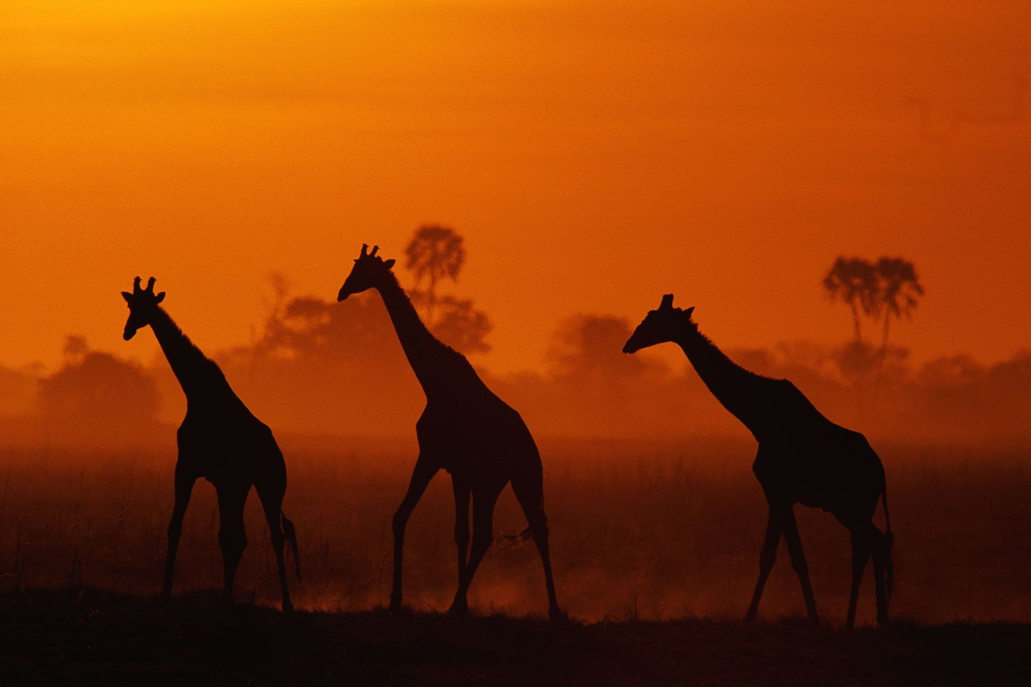 Numbers of the famous African animal have fallen by nearly half in the past 15 years, prompting urgent—and sometimes risky—actions to help.