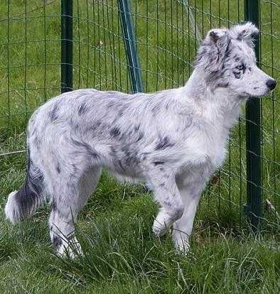 Bleu Merle Pretty Dogs Collie Puppies Australian Shepherd