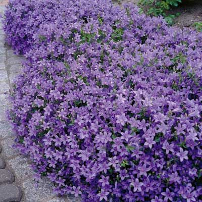 Dalmatian bellflower produces beautiful mounds of purple bell shaped dalmatian bellflower produces beautiful mounds of purple bell shaped flowers from late spring through summer low growing plant is perfect for adding color mightylinksfo