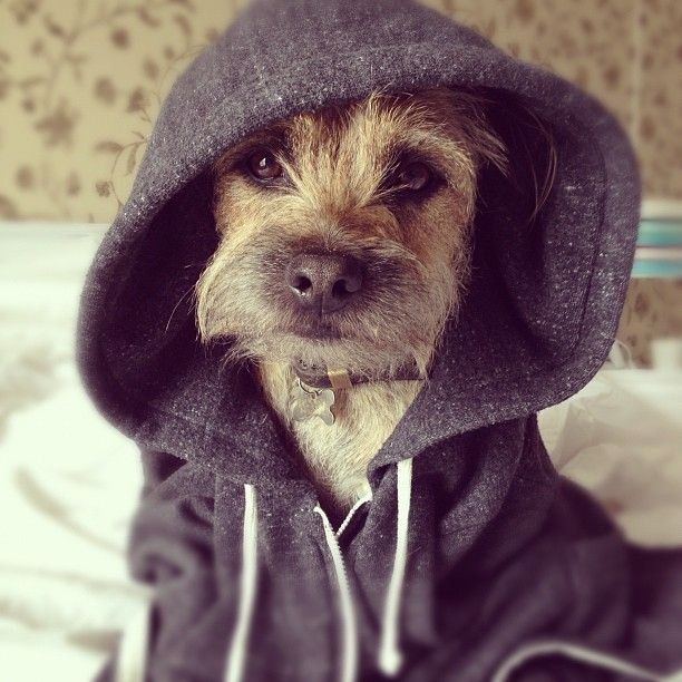 Border Terrier Dogs In Clothes Dogsinclothes Doggie Clothing