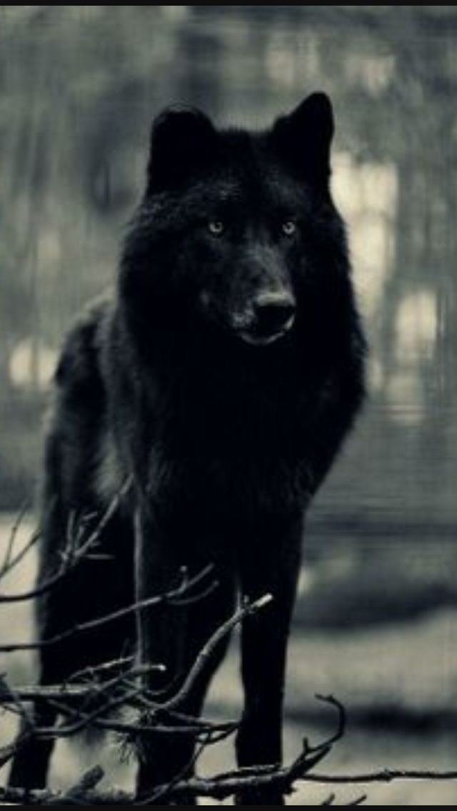 Black Canis Lupus | Wolves | Beautiful wolves, Wild wolf, Dogs