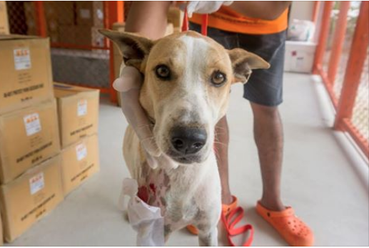 Nuwan was the victim of a vicious acid attack. It's hard to understand how anyone could do this to an innocent dog. But it does happen, and dogs like Nuwan need compassionate people like you to help fund their medical care. To donate, please go to http://bit.ly/help_dogs_like_Nuwan. Poor, sweet Nuwan was brought to Soi Dog nearly a week after someone threw acid on her. She must have suffered terribly. The skin on her chest and right leg was burned off, leaving a large patch of flesh exposed.