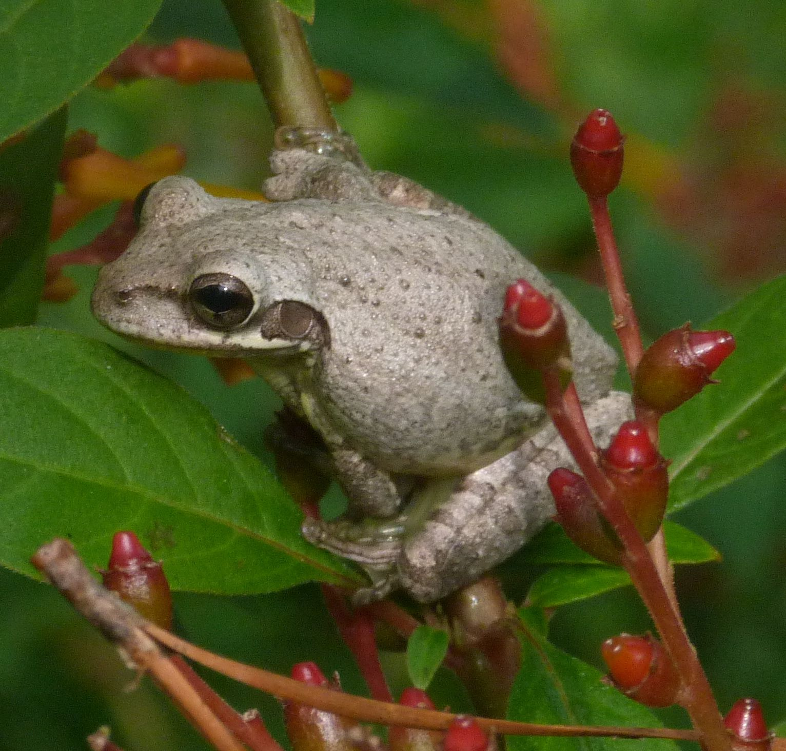 This Is The Cuban Tree Frog It Is An Invasive Species In