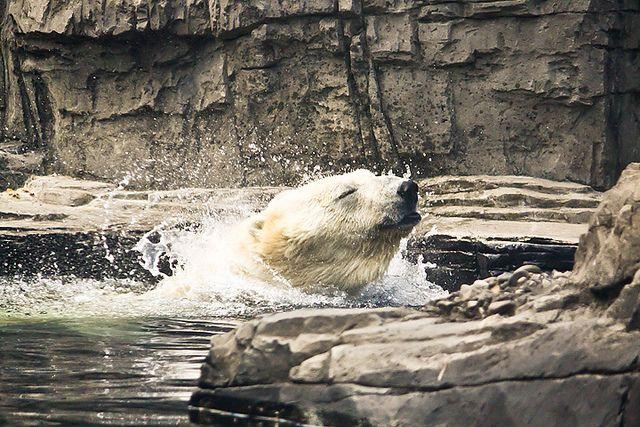 Polar Bear - Morning Bath (Central Park Zoo)