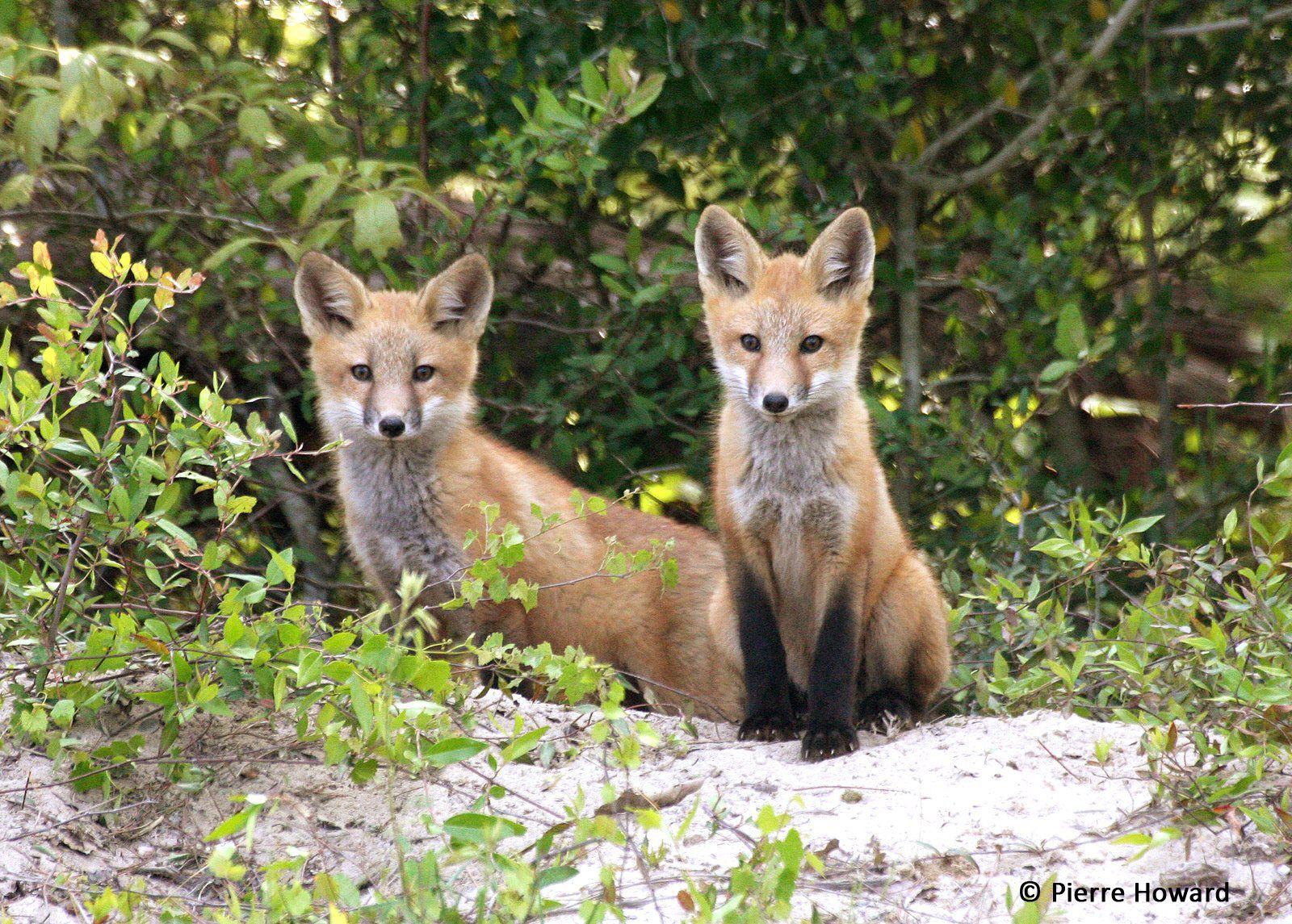 Georgia Conservancy Red Fox Kits Red Fox Fox Wildlife