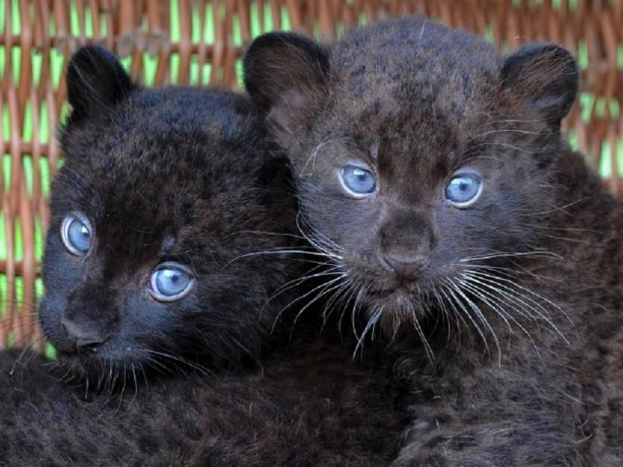 Baby Black Leopards Pixdaus With Images Cute Animals