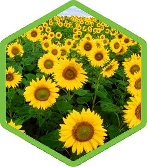 Helianthus Annuus Hybrid Oil Sunflower Oil Sunflower Fields Types Of Flowers Plants