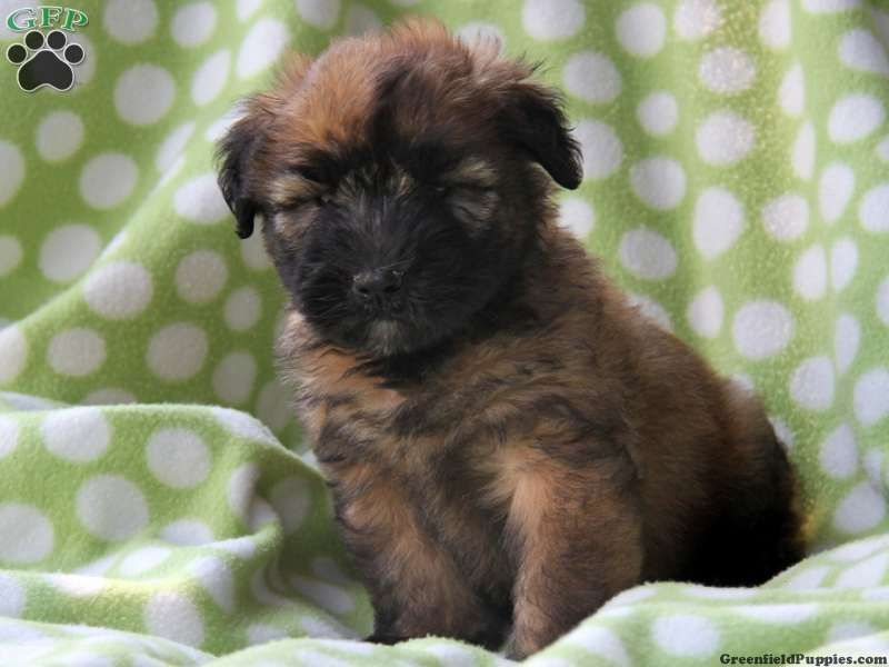 Birtie soft coated wheaten terrier puppy for sale from