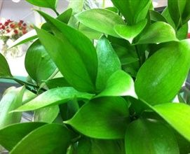 Ruscus Israeli - California Foliages - Greens, Foliages and Branches - Year-round