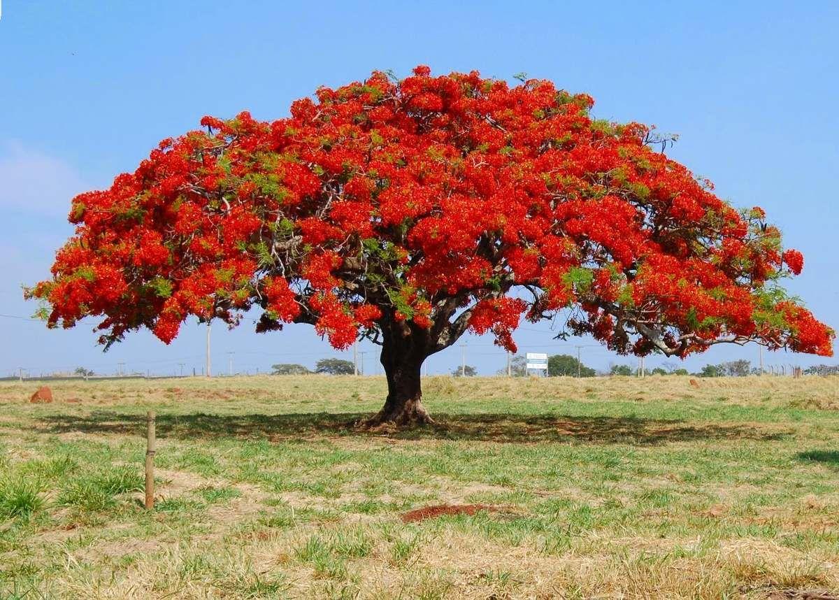 Semillas de flamboyant gu a de cultivo para bonsai for Arboles de crecimiento rapido para sombra