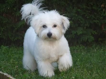 797f95a2ef5d5 Image result for coton de tulear full grown puppy cut | Bailee ...
