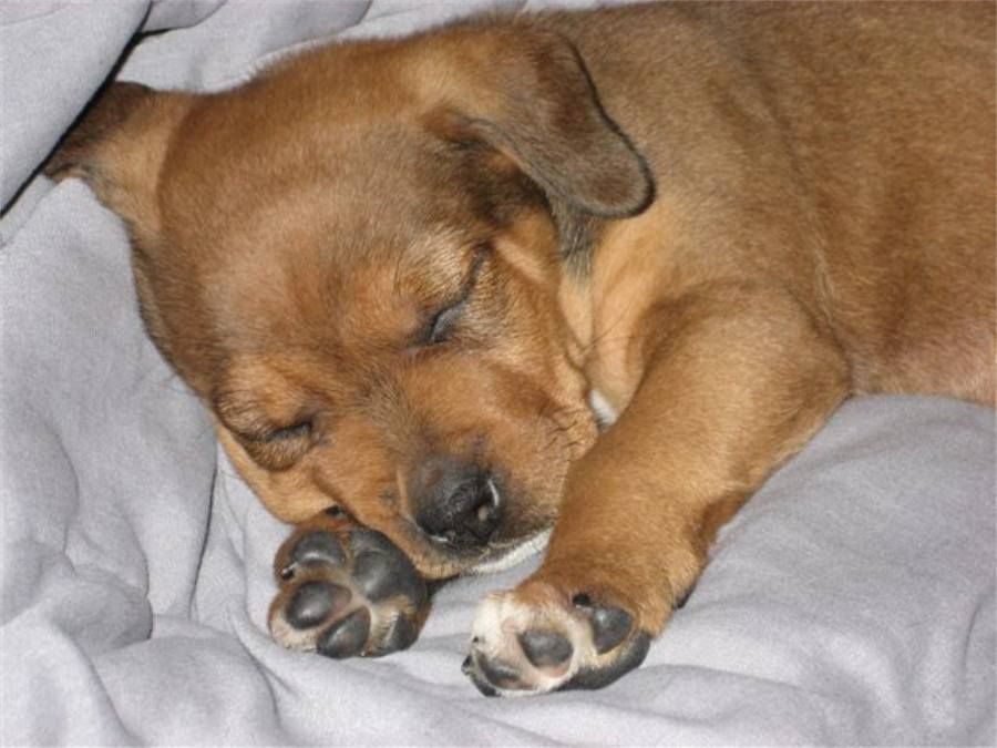 Brown Rottweiler German Shepherd Mix Puppies Sleeping Sleeping