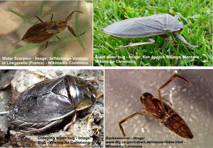 How To Get Rid Of Water Bugs Get Rid Of Waterbugs Home Remedies Rid