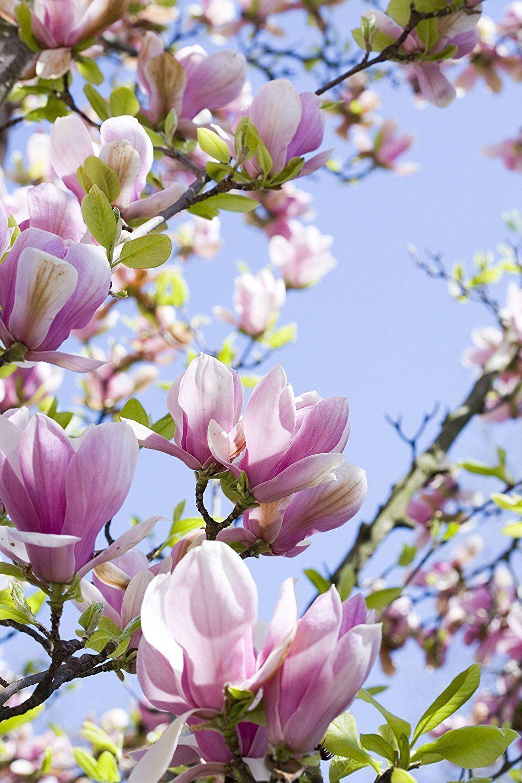 Magnolia Shrubs Plant Colelction X 3 Varieties In 9cm Pots Visit The Image Link More Details This Is An Affiliate Li Planting Flowers Garden Shrubs Plants