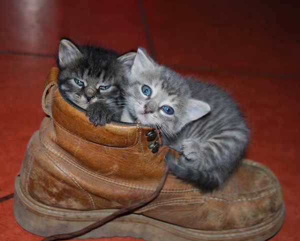 Pusses In Boots Love Meow Kitten Cuddle Kittens Cutest Cute