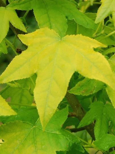 Liquidambar Styraciflua Moonbeam Leaf Golden Google Search Plant Leaves Sweet Gum Small Trees