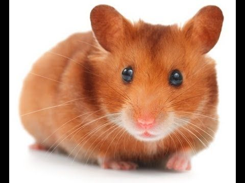 Golden Teddy Bear Hamster Google Search Syrian Hamster Wild