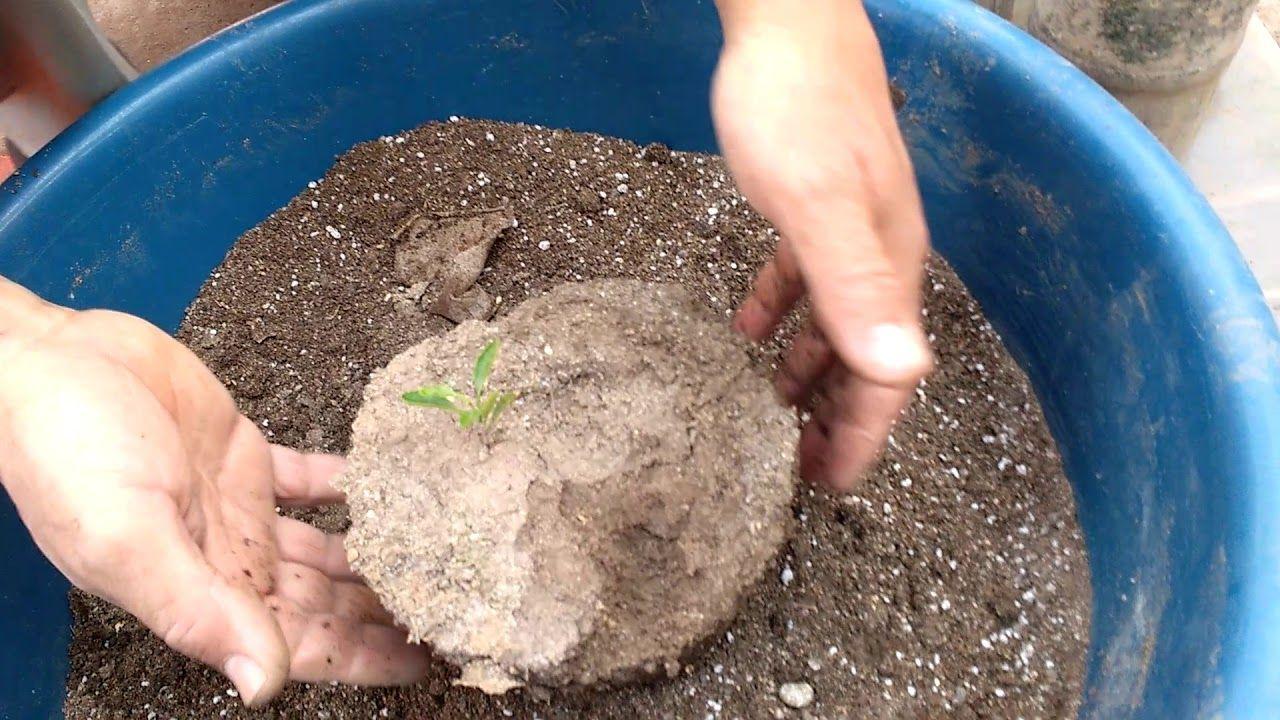 زراعة بذور الليمون ونقل البادرات Cultivation Of Lemon Seeds And Seedl Plants